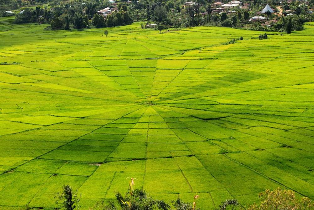 spider rice field