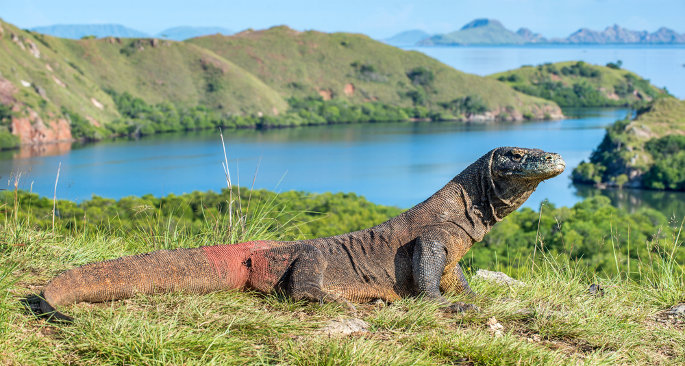 Komodo-dragon.-Varanus-komodoensis-Biggest-in-the-world-living-lizard-in-natural-habitat.-Rinca-Island.-Indonesia.